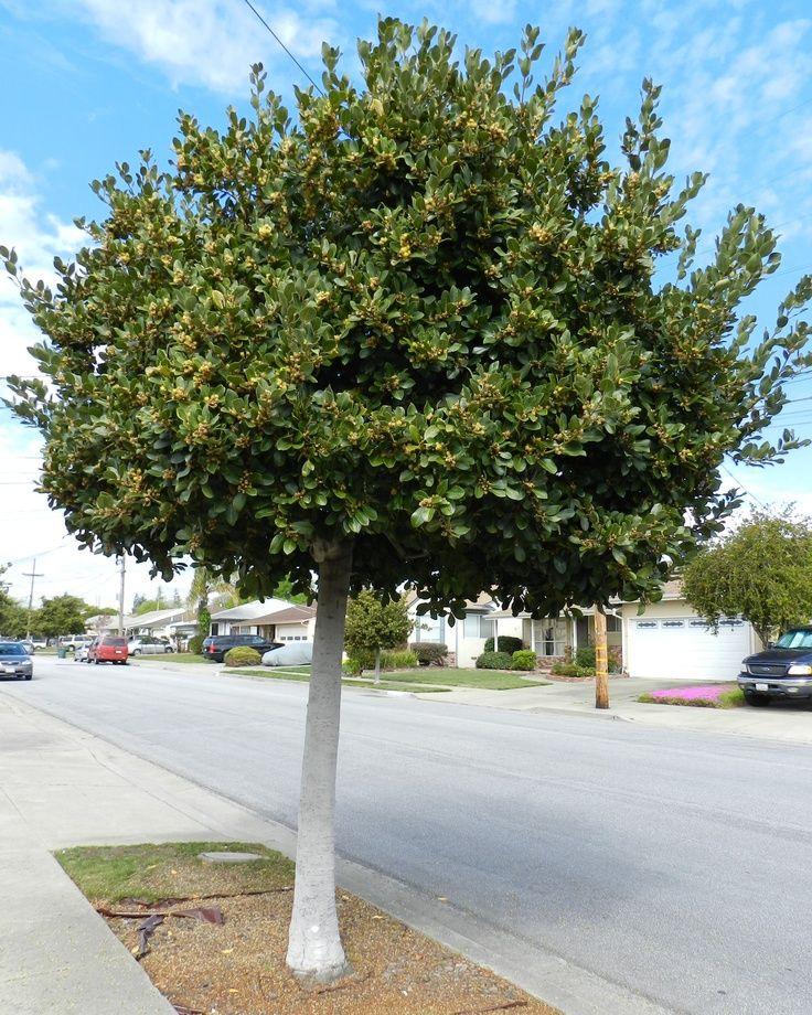 Marvelous Small Evergreen Trees  Laurus Nobilis U0027Saratogau0027