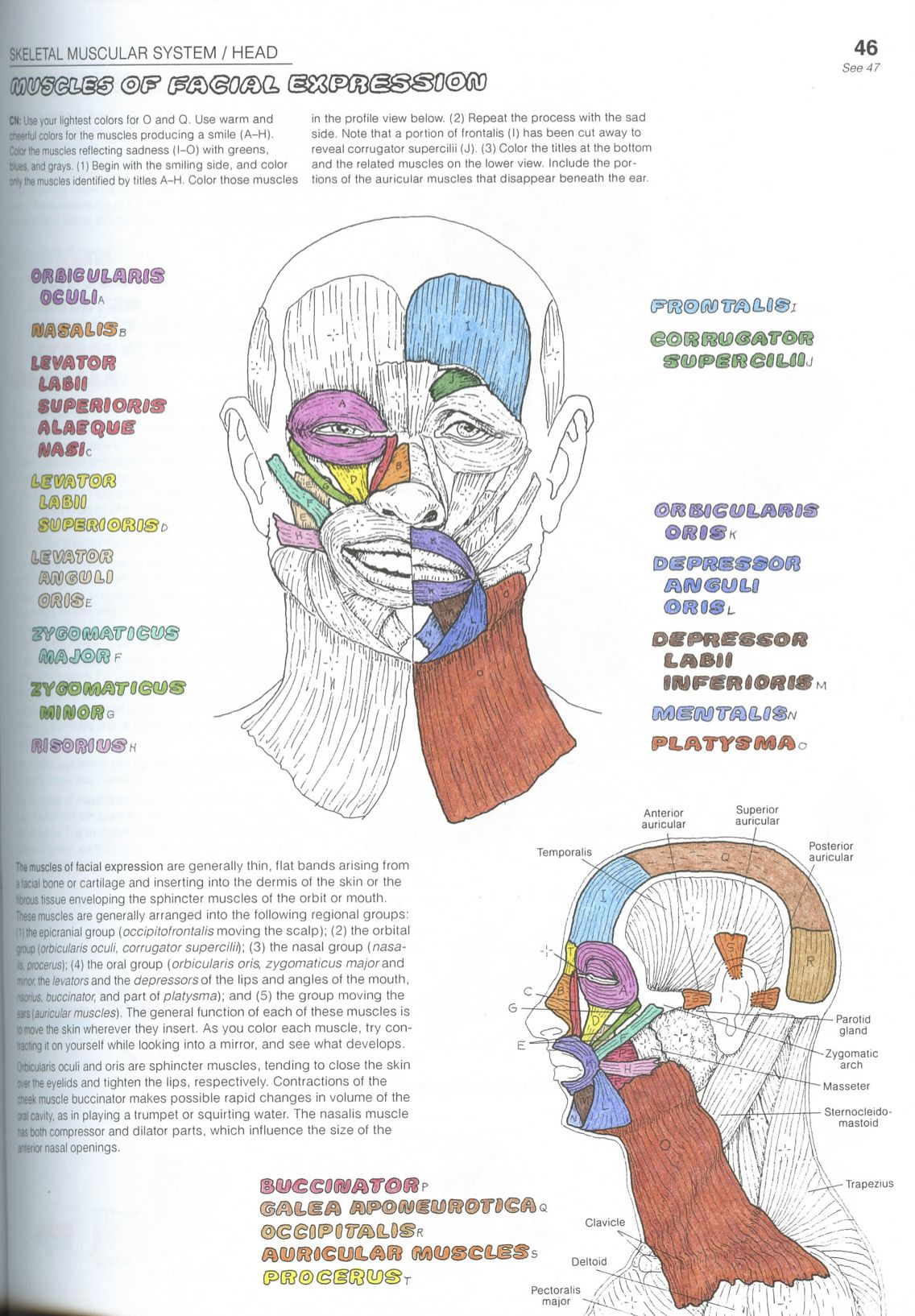 Workbooks anatomy and physiology coloring workbook muscles : Stunning Anatomy Coloring Book Muscles Gallery - Triamterene.us ...