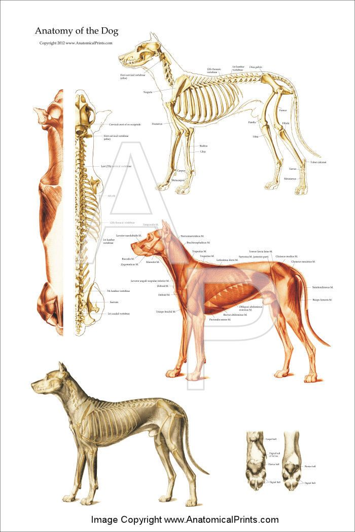 Dog - Canine Muscular and Skeletal Anatomy Poster 24 x 36 | Animal ...
