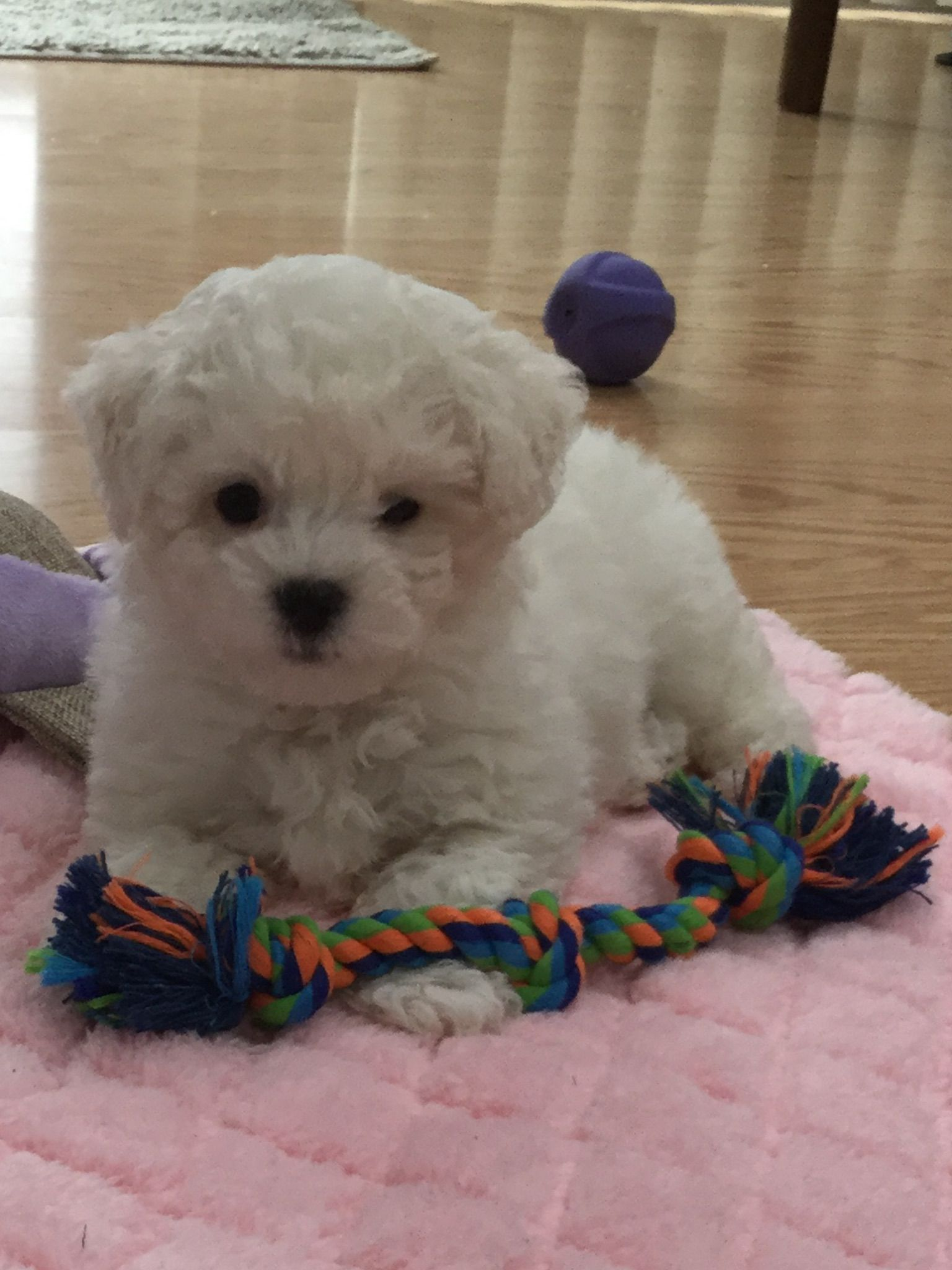 Pin By Julie Edwards On Cuties Cute Little Dogs Bichon Dog