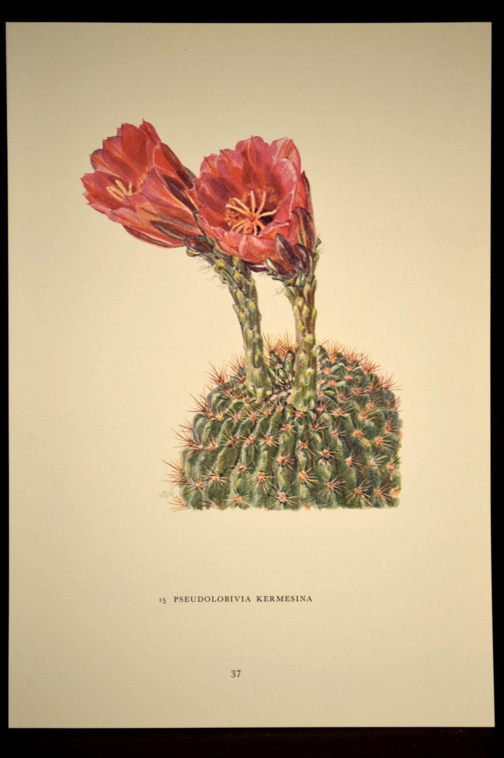 Cacti Art Print Cactus Print Botanical Print Flowering