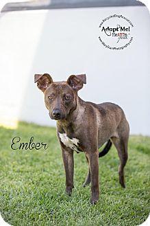 Long Beach Ca Greyhound German Shepherd Dog Mix Meet Ember A