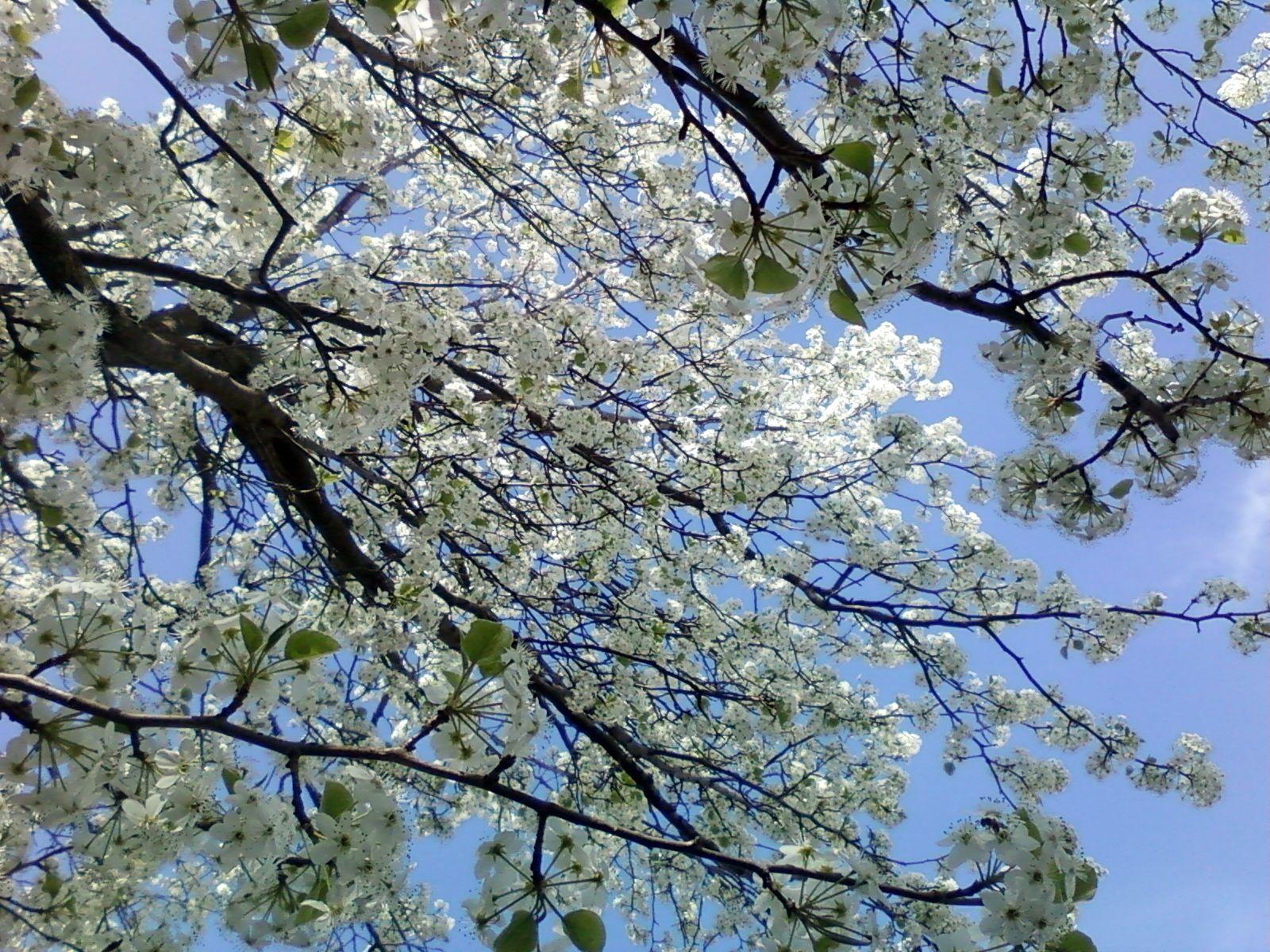 Bradford Pear in bloom