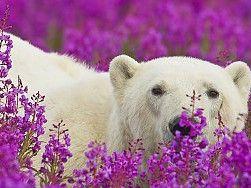 Résultats de recherche d'images pour «ours polaire en fond d'écran gratuit»
