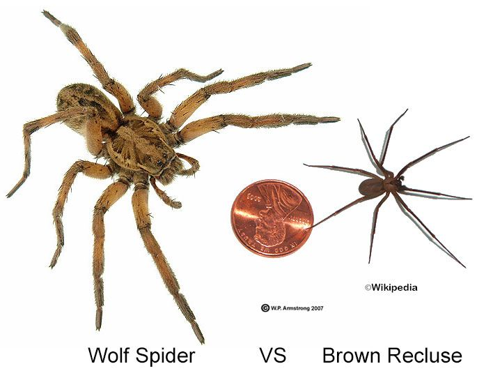 Size The Wolf Spider Is Substantially Larger Than The Brown Recluse By About 3x Description From Spearspestco Brown Recluse Wolf Spider Brown Recluse Spider