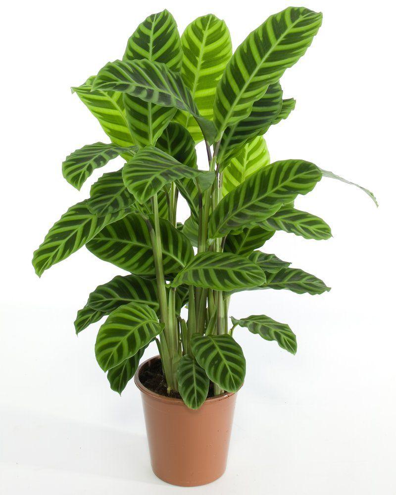 Planta de interior resisitente jardiner a pinterest for Jardineria y plantas