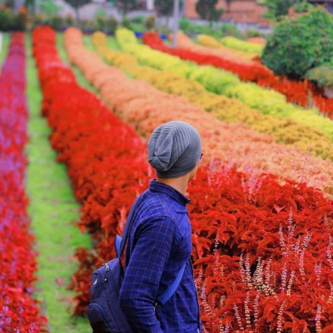 Rainbow Garden Taman Bunga Warna Warni Ala Pelangi Di Lembang Bunga Taman Bunga Wallpaper Bunga
