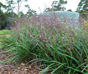 Lucia is a low growing dianella with purple flowers strappy lucia is a low growing dianella with purple flowers strappy leaf plants altavistaventures Choice Image