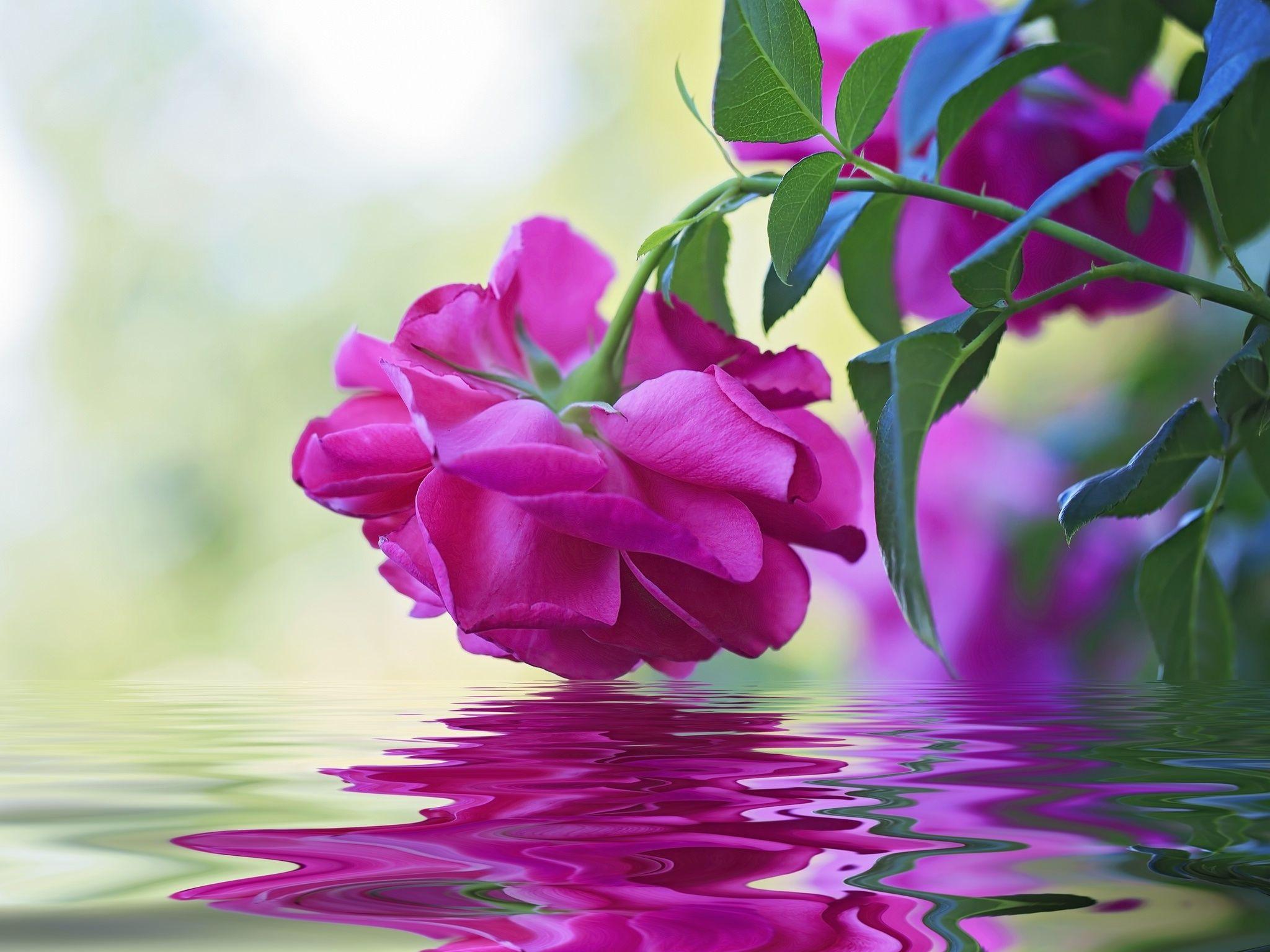 Rozowa Roza Beautiful Flowers Wallpapers Beautiful Flowers Photos Beautiful Flowers Images