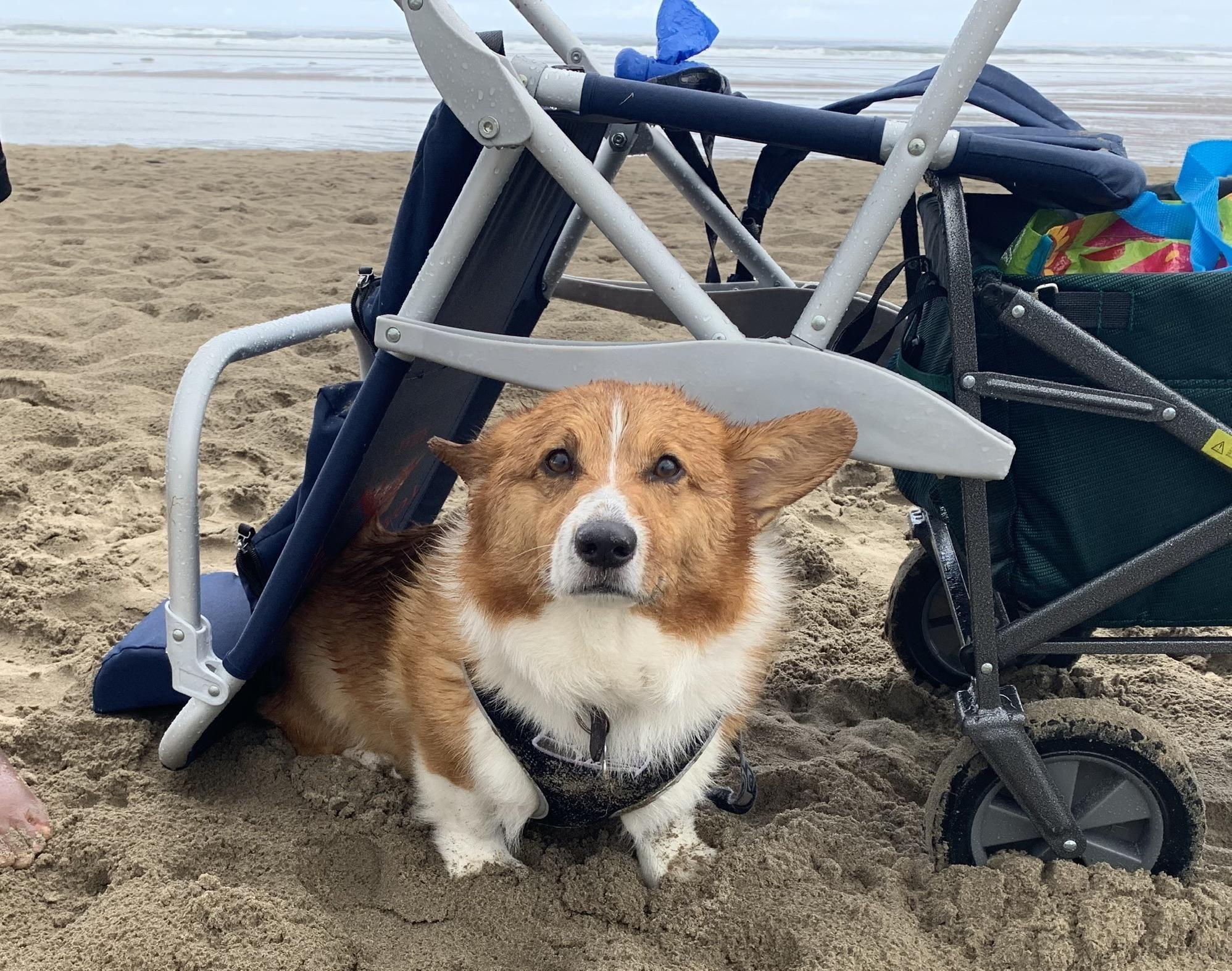 Aussie Corgi Puppies For Sale Oregon Ideas