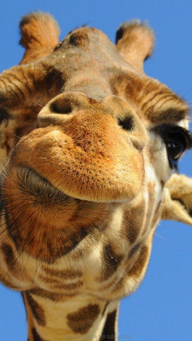 Photo of Pin von eMe auf Animals Wallpaper   Giraffe fotos Giraffe