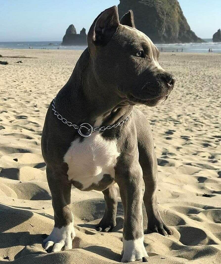 Best Dog Food For Pitbulls 2020 Buyer S Guide Pitbull Terrier