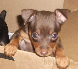 Miniature Pinscher Puppy For Sale In Carrollton Ga Adn 25868 On