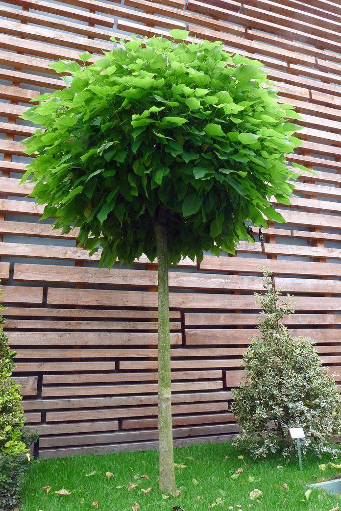 Balham London Tom Howard Gardens: Kugelbäume: In Jedem Garten Ein Hingucker