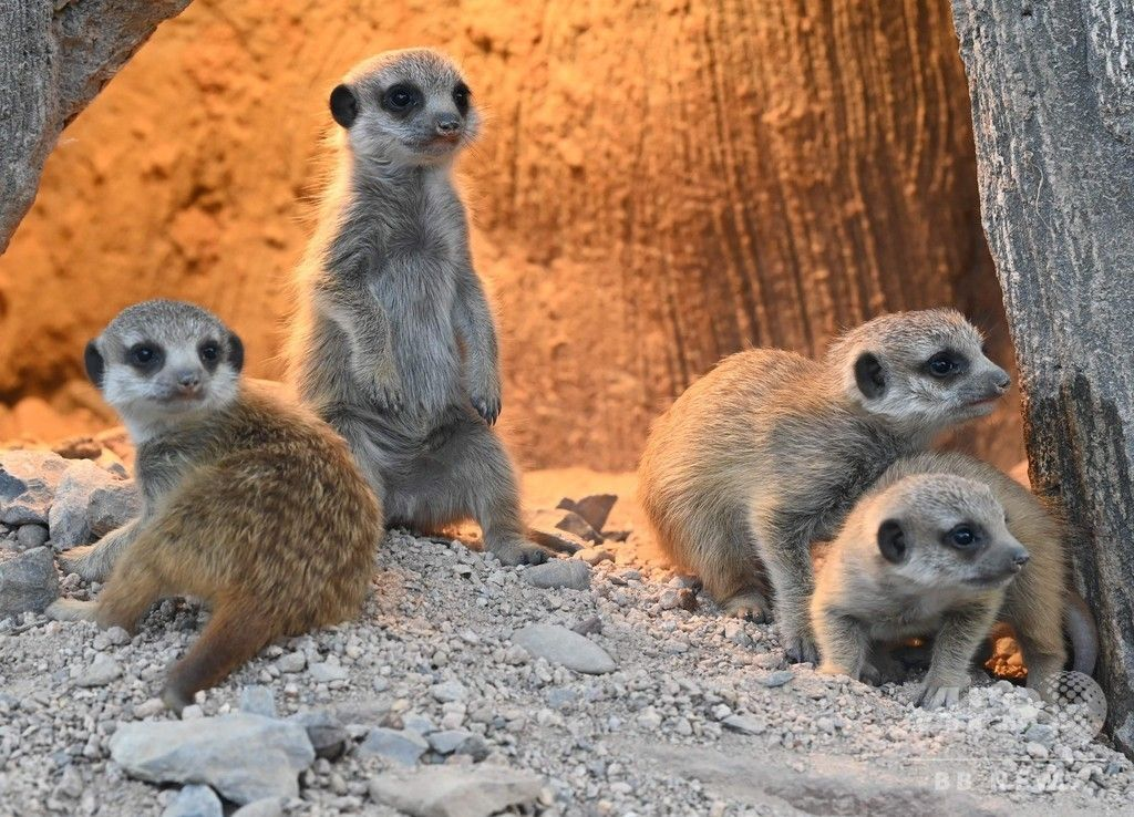 ひとりで立てるもん ミーアキャットの赤ちゃん 独動物園 ミーアキャット 動物園 動物