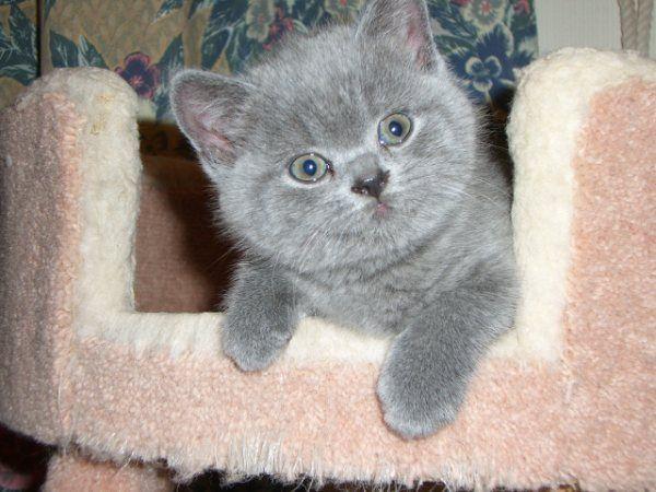 Home Www British Blue Kittens Co Uk British Blue Kitten Kittens Cutest Kittens