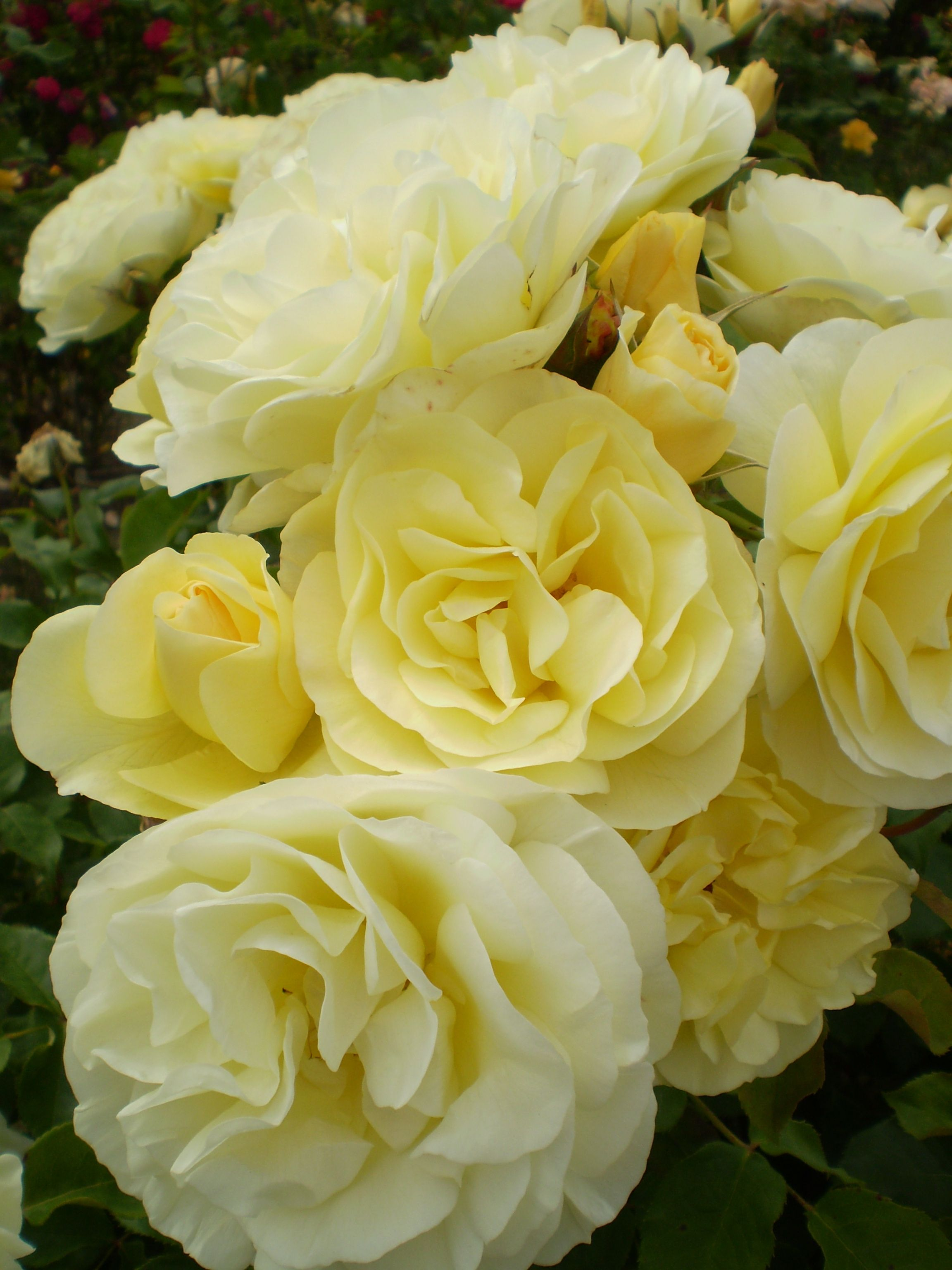 Pin By Erika Terry On Added To My Garden Rose Shrub Roses Winter Greenhouse