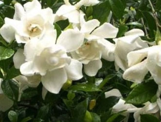 August Beauty Gardenia Live Potted Plant Shrub Hedge Flowers Fragrent Fragrant Garden Plant Seedlings Gardenia