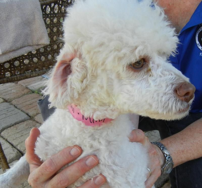 Meet Mimi A Petfinder Adoptable Poodle Dog Houston Tx Is Young 2 Year Old Mini With Beautiful Light Eyes And Nose