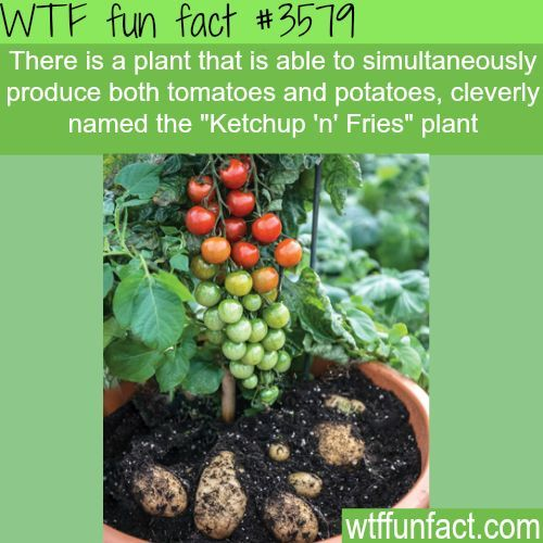 Tomatoes And Potatoes Plant Named Ketchup N Fries Fun Facts