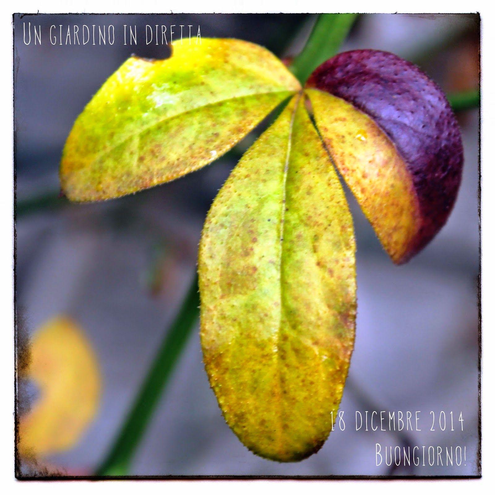 in diretta dal giardino: le ultime foglie del gelsomino d'inverno (Jasminum nudiflorum), buongiorno giardinieri! #giardino #giardinoindiretta #foglie