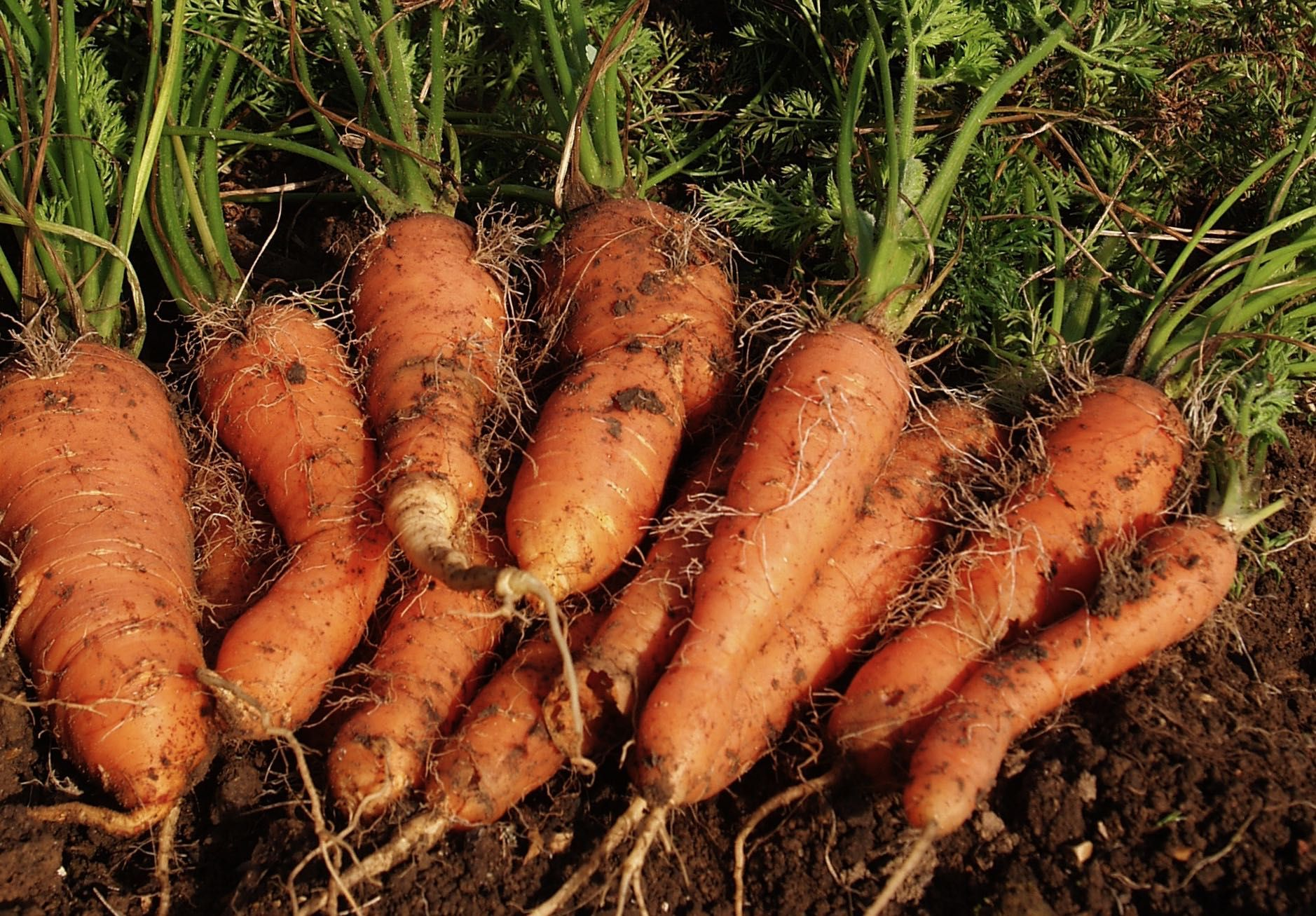 How to grow carrots - for beginners - Herbidacious in 2020 ...
