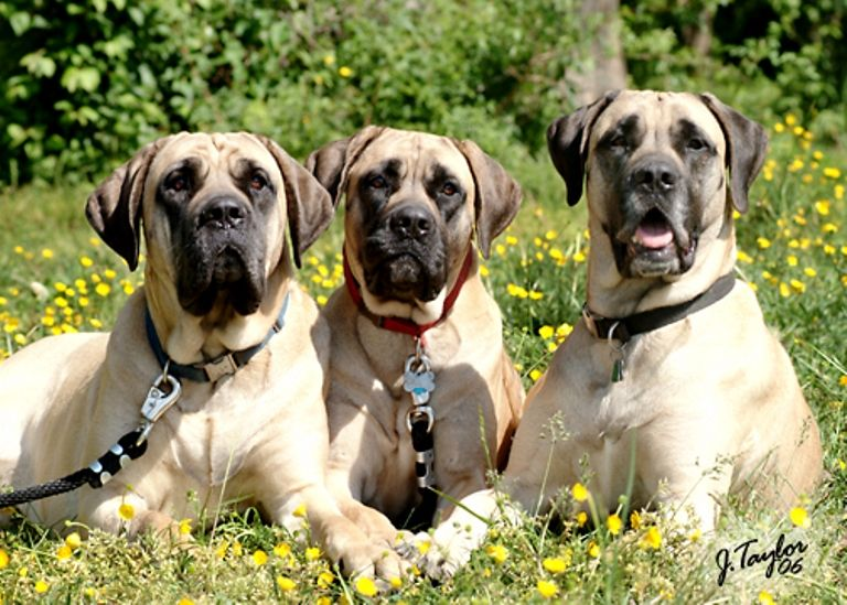 Cute American Mastiff Dogs Photo And Wallpaper Beautiful Cute
