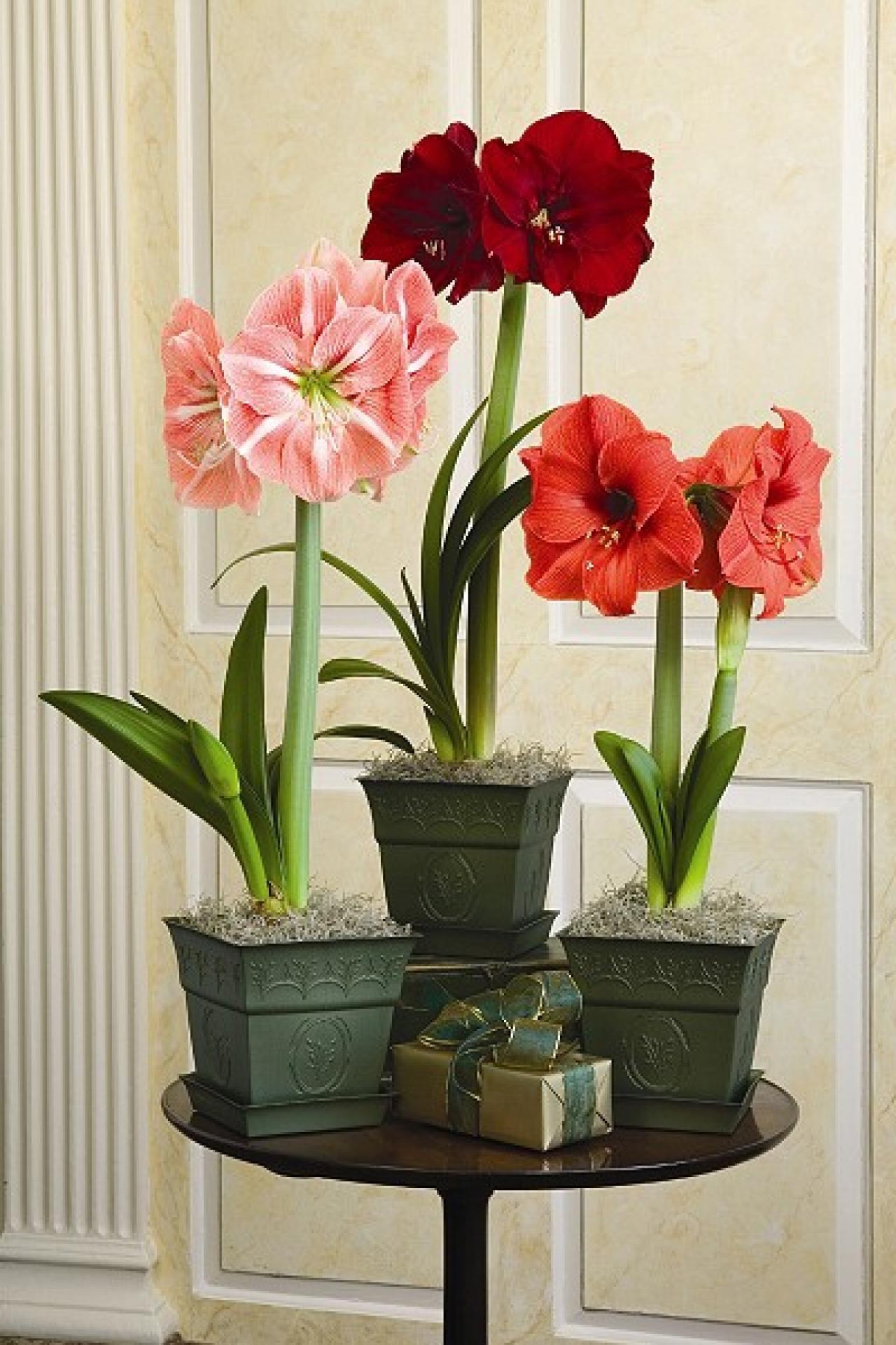 christmas flower bulbs amaryllis