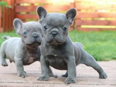 French bulldog for sale… OH!!! If I only had a spare 1200