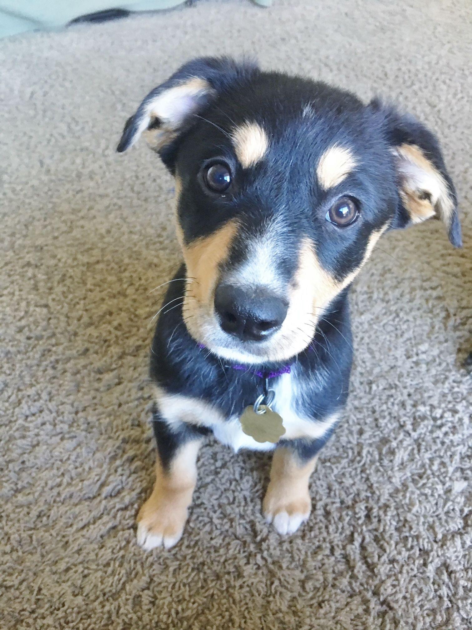 Adopt Beau on Animal companions, Australian shepherd, Dogs
