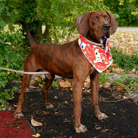 Evander has those big, soulful Hound eyes! This three-year-old Plott Hound mix was found as a stray and admitted to the Blount County Animal Center shelter in Tennessee on September 10th. Evander had a torn ear, a broken tooth and was heartworm positive.... #plotthound