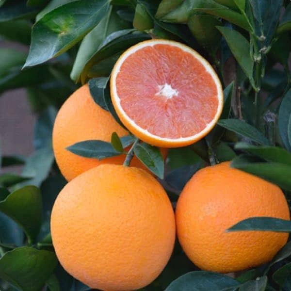 Cara Cara Sweet Semi Dwarf Orange Tree Citrus Trees Orange Tree Fruit Trees