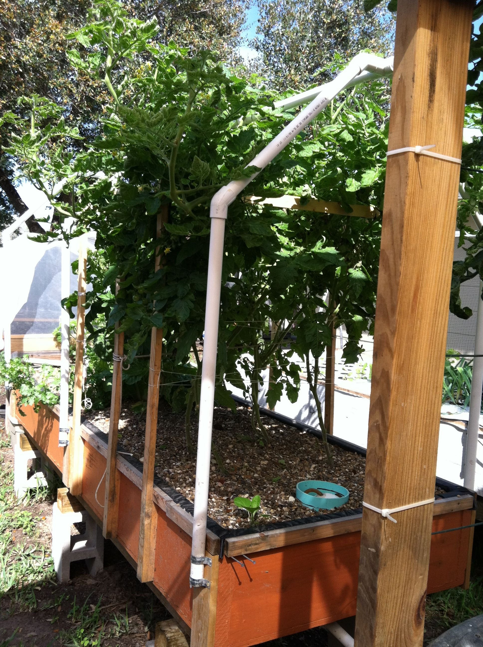 this is the how our tomatoes grow these are in a gravel bed in