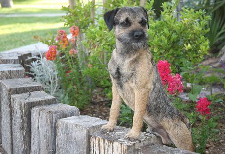 Border Terrier Dog Breed Information Border Terrier Dog Breeds