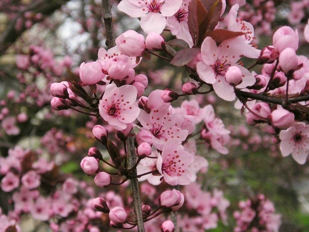 Akebono Flowering Cherry Blooms Early Spring With Masses Of Light Pink Flowers That Give Way To Green Leave Front House Landscaping Shade Trees Flowering Trees