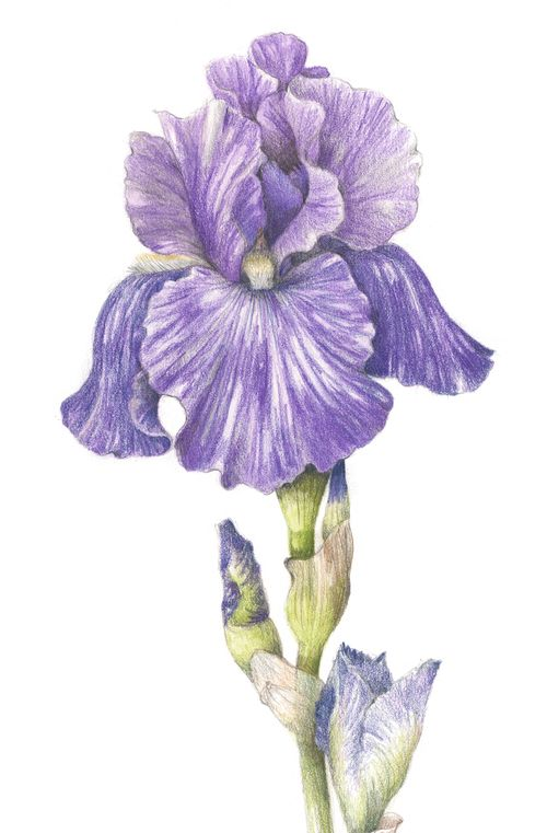 Line Drawing Of Iris Flower : Bearded iris collection of botanical illustrations