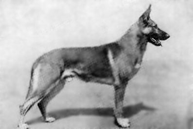 Old Style German Shepherd Dogs This Picture Exemplifies The Old