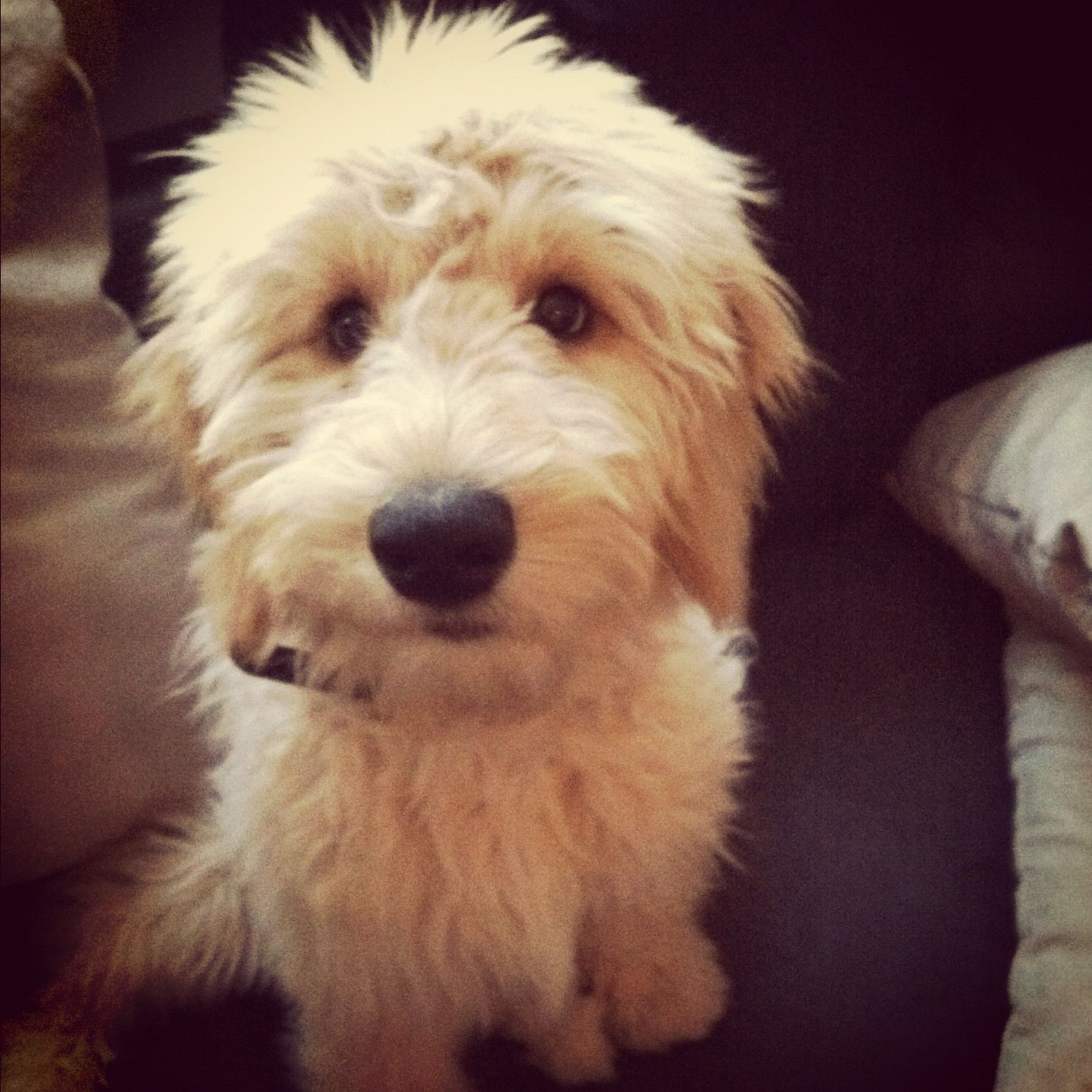#Goldendoodle #goldendoodles #golden #doodle #puppy #fluffy #cute #adorable #dogs #monty