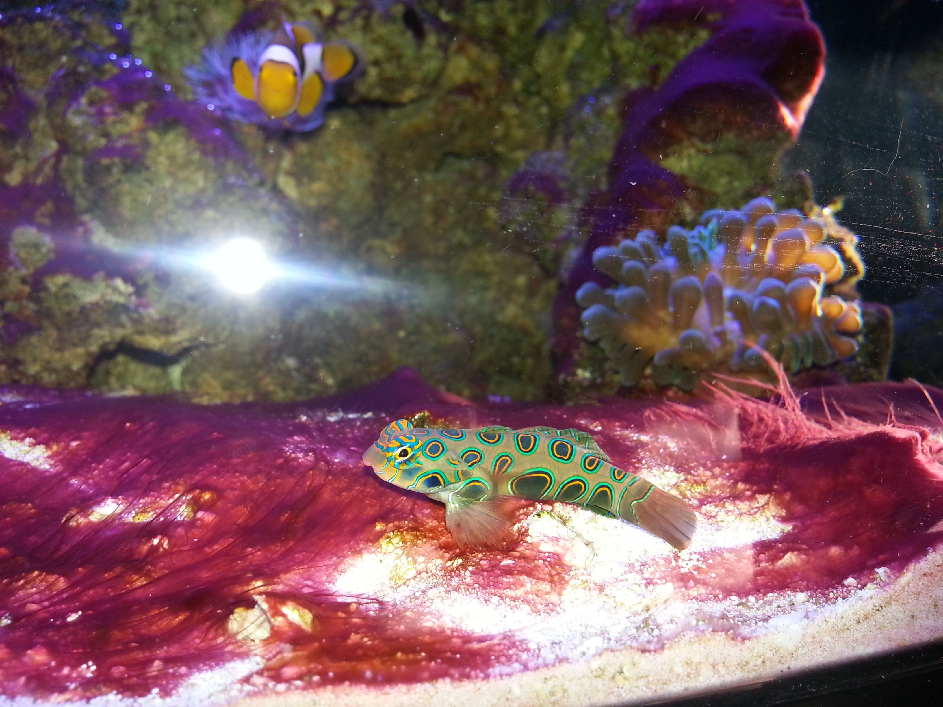 Mandarin Goby Highlights An Overgrowth Of Red Algae In A New Nano Reef Time For Some Cleaning A Water Change Mandarin Fish Saltwater Aquarium Aquarium