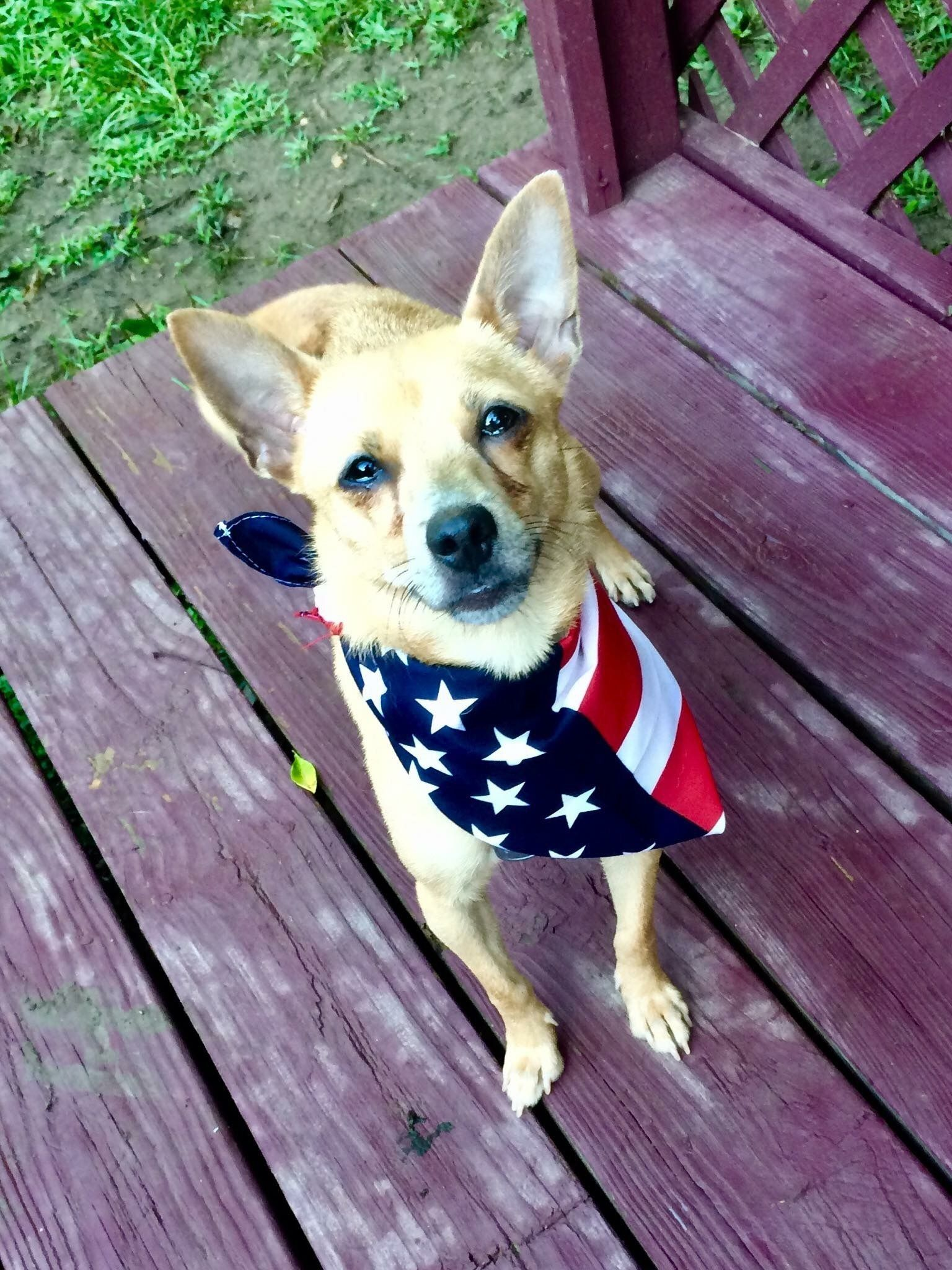 Adopt Kinsley on Miniature pinscher mix, Chihuahua, Dogs