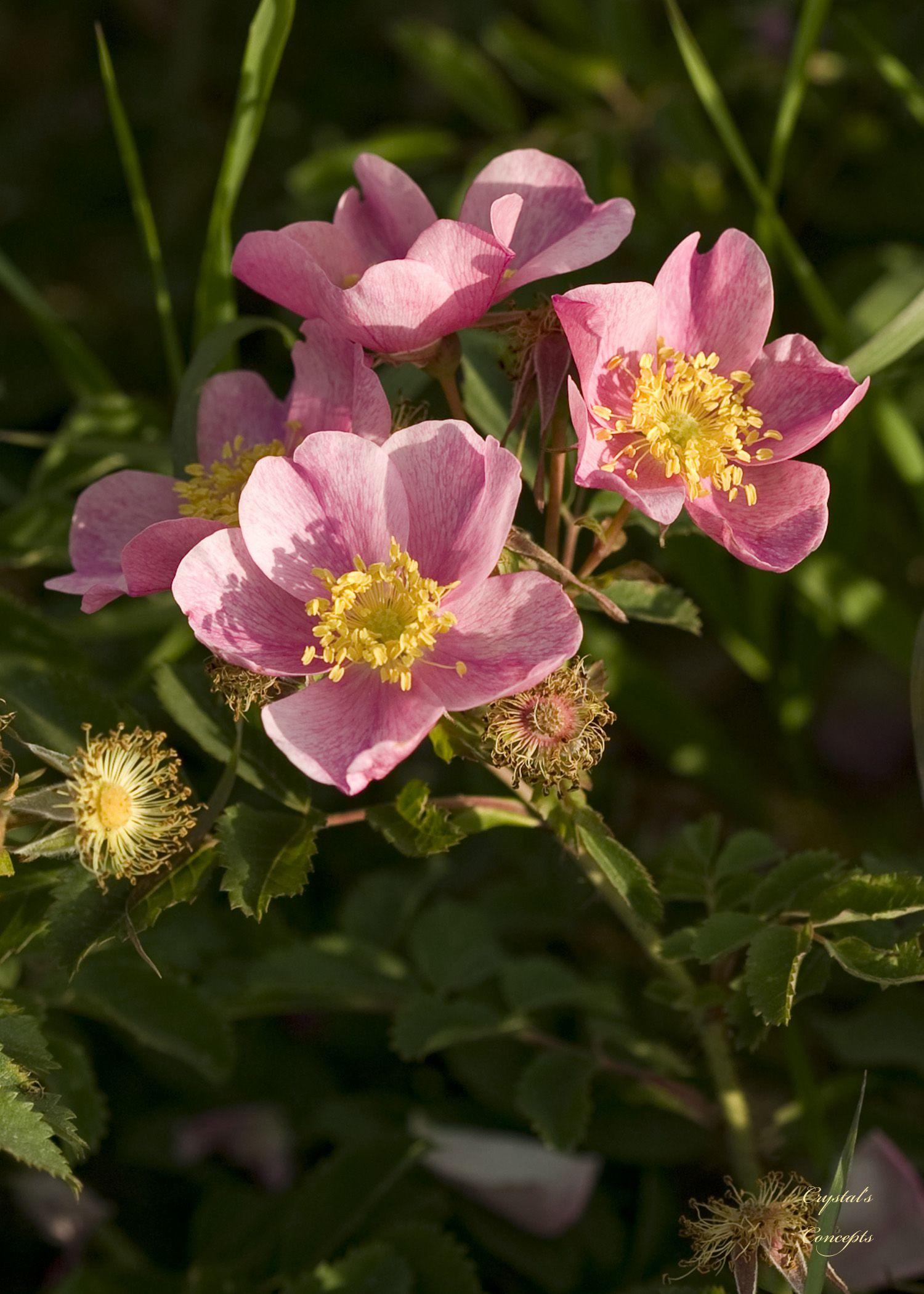 nd prairie rose.jpg (JPEG-afbeelding, 1500×2100 pixels) - Geschaald (46%)