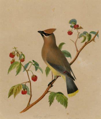 Cherry Bird Art Of Isaac Sprague Art Drawings Bird