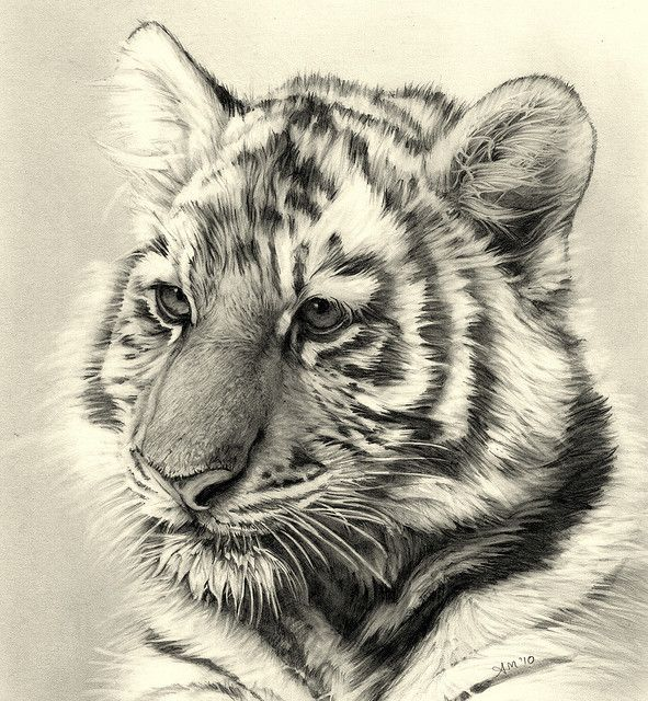 Pencil drawing of a tiger made using pencils techniques crosshatching shading linear
