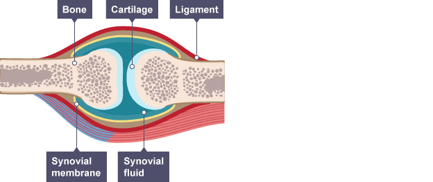 Synovial joint featuring bone cartilage ligament synovial fluid synovial joint featuring bone cartilage ligament synovial fluid and synovial membrane ccuart Choice Image