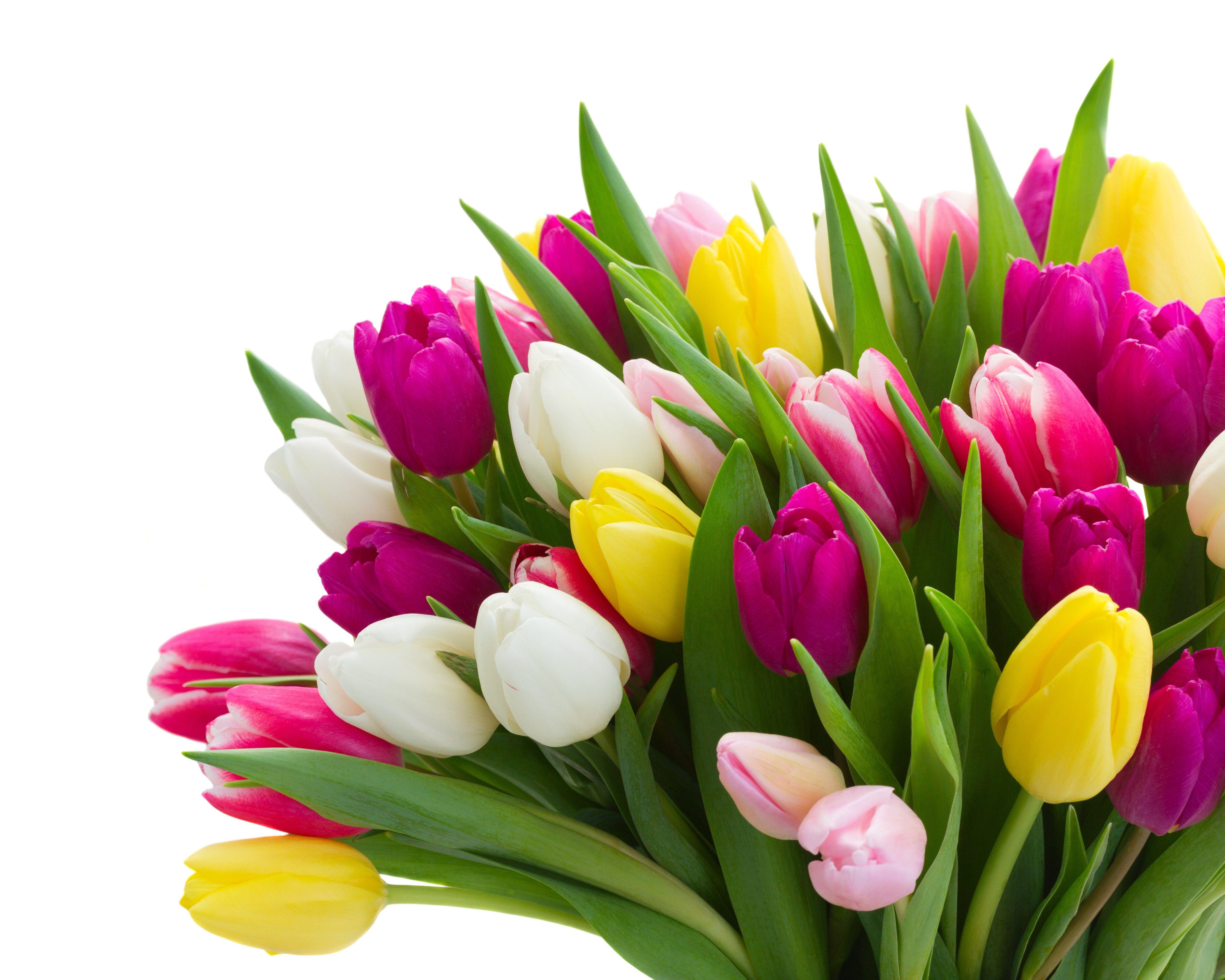 4k Wallpaper Tulip 4750x3800 Pinterest