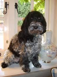 Blue Roan Cockapoo Google Search Dog Breeds Pictures