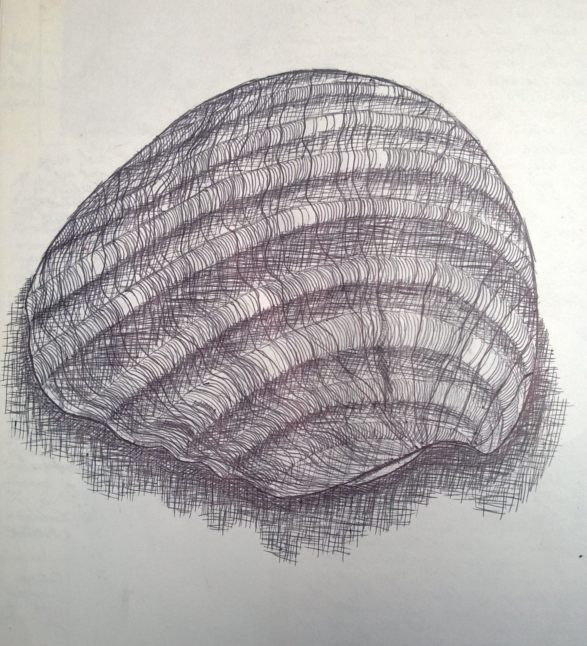 Contour Line Drawing Of Natural Forms : Biro contour line drawing of a seashell note the cross