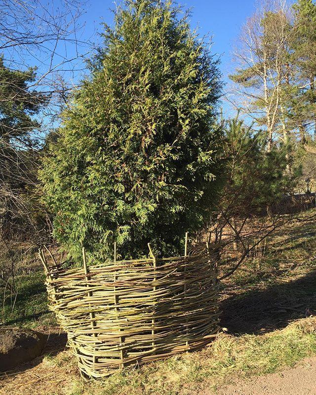 Willow basket - deer proof evergreens Don Statham- Totem Farm Garden