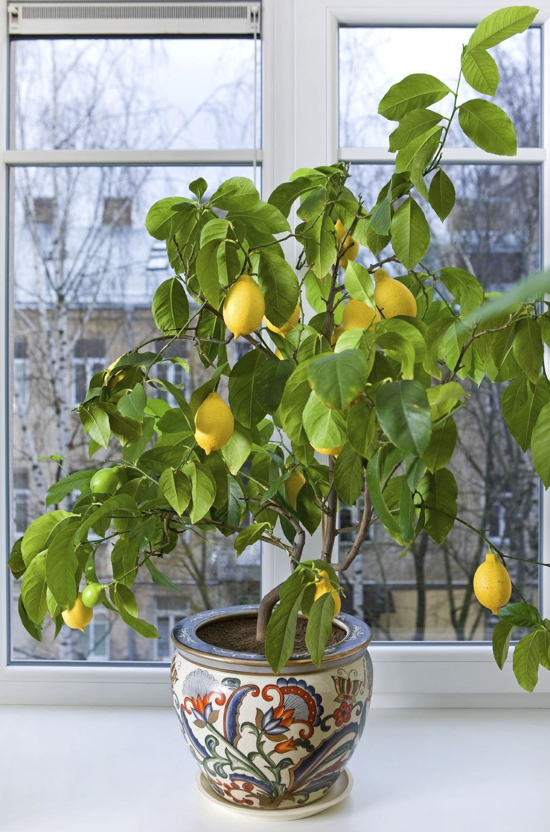 Fruitier en pot- agrumes et plantes exotiques à la maison! | Arbres à croissance rapide, Pot ...