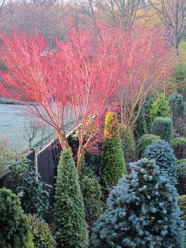 acer senkaki awaiting new leaves acer gardens and winter plants